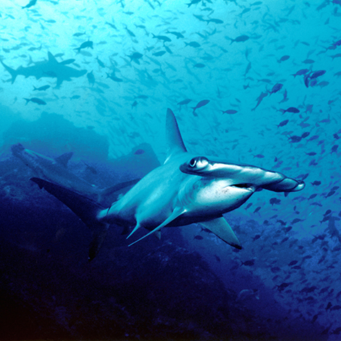 Development of an Operational Strategic Plan for Global Sharks and Rays Initiative